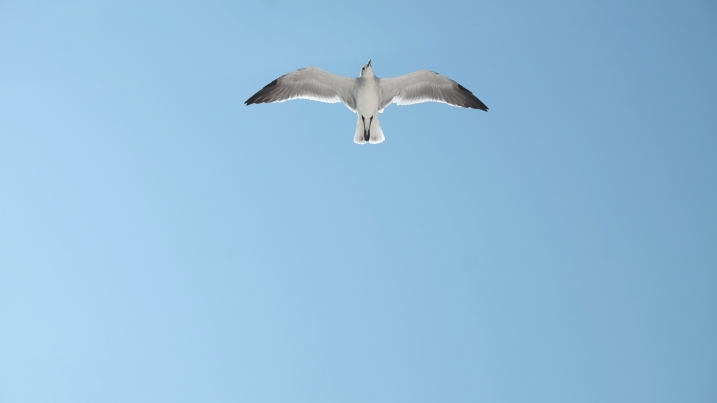 seagullflying.jpg